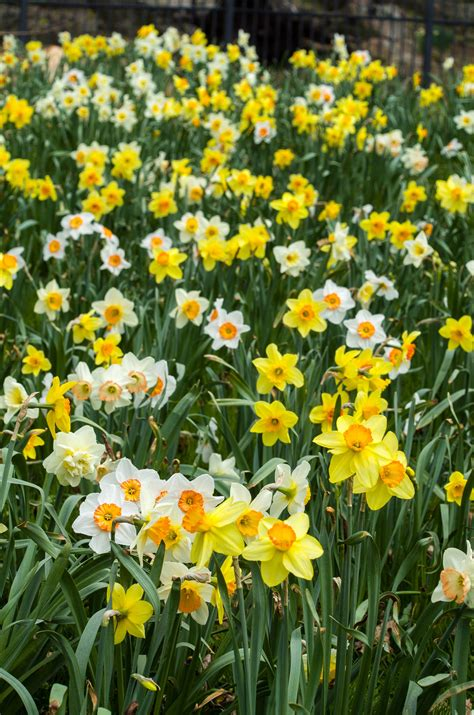 daffodil bulbs item 3101 the top 40 for sale