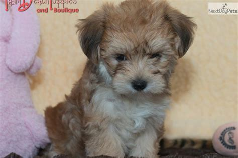 do morkie puppies shed petunia morkie yorktese puppy for sale near west palm