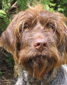 wirehaired pointing griffon breed information history