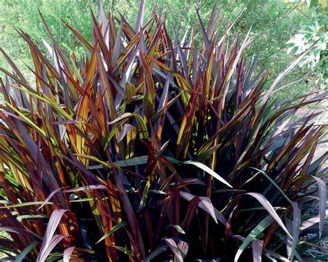 purple grasses splendor in the grasses houston grows