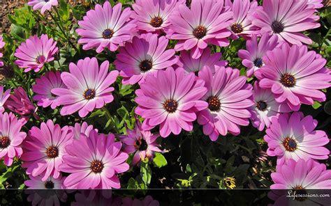Animated Flower Wallpaper Desktop - summer flowers wallpaper for desktop wallpapersafari
