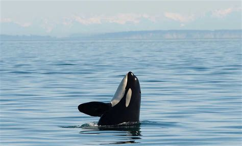 Whale Boat Tours Seattle by Seattle Whale 101 Visit Seattle