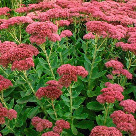 sedum plants flowerdale nurseries inc june 2010