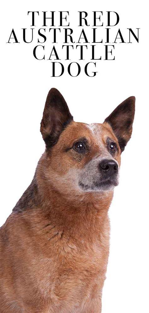red australian cattle dog   beautiful dog