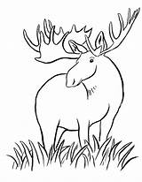 Moose Coloring Pages Printable Animals Elk Simple Clipart Girly Animal Drawing Drawings Draw Wild Sketch Colouring Template Deer Today Horn sketch template