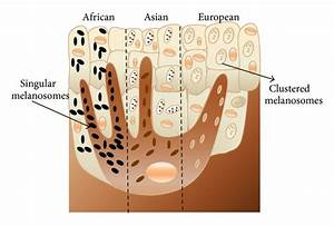 Structure or melanosome distribution for different racial ...