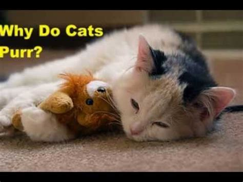 why do cats purr why do cats purr what makes cats purr