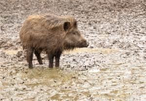 Invasive Wild Pigs Leave A Swath Of Destruction Across U.s