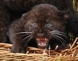 Baby panther cub - Photos - Most delightful baby animals ...
