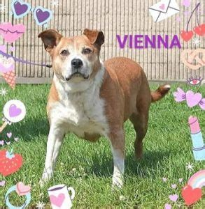 vienna terrier mix adopted  hope animal rescue