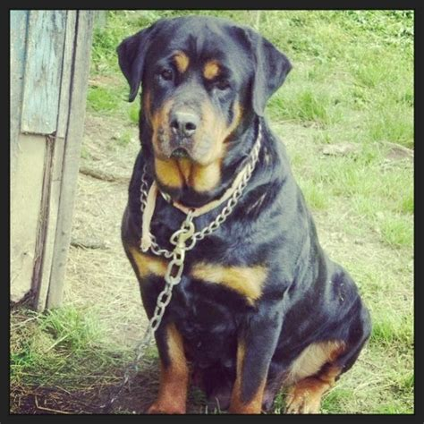 17 best ideas about german rottweiler on baby