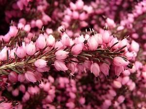 Heather Erika Flower  U00b7 Free Photo On Pixabay