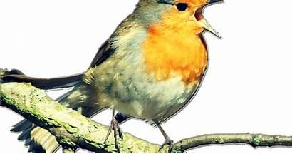 Apk Burung Bertelur Downloader Editor Kicau Giring