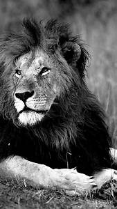 Black and white lions wild wallpaper (14498)