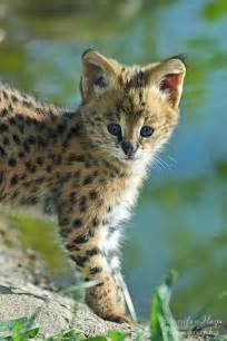 cheetah cats serval kitten we will own all of these