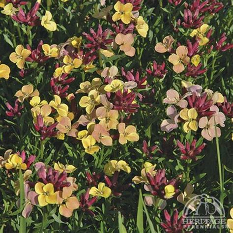 erysimum codrington john wallflower plants perennials perennial winter sun shrubby plant flower wall flora heritage dwarf