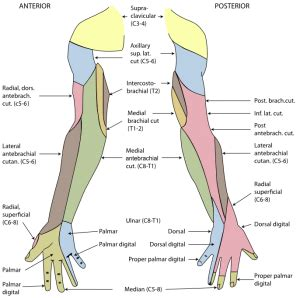 Radial Nerve Physiopedia