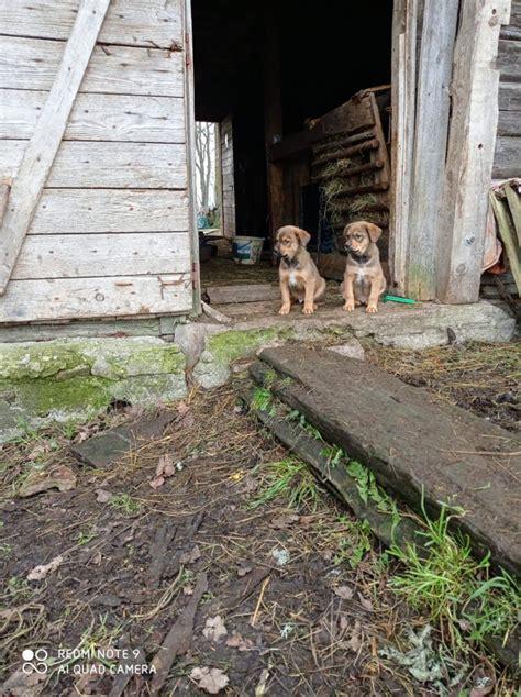 Dzīvnieki Suņi, kucēni: 100.00€ - Pērc un Pārdod