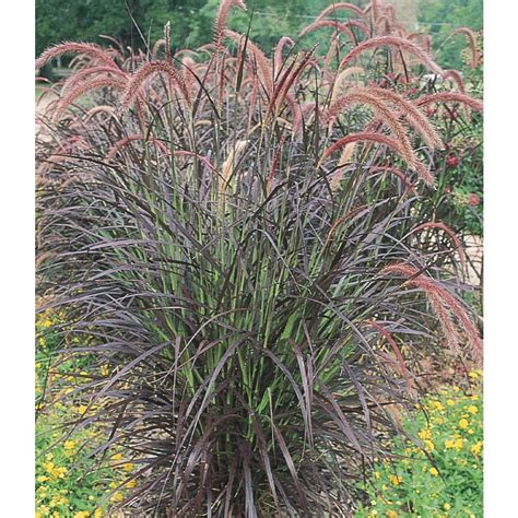 where to buy purple grass shop 1 25 quart purple fountain grass l8564 at lowes com