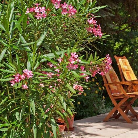 Oleander (nerium Oleander) Pflanzen, Pflegen Mein