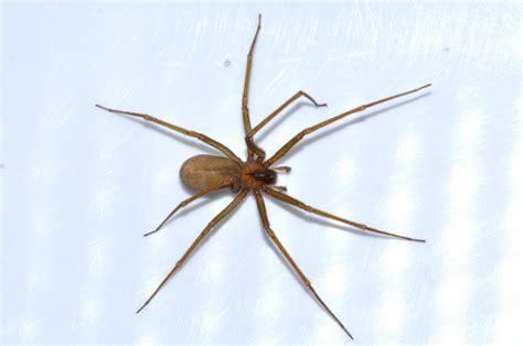ragno in casa i ragni delle abitazioni aracnofilia associazione