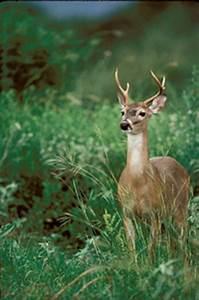 Tpwd Overabundant Deer