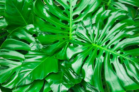 Philodendron Arten Bilder by Growing Indoor Philodendrons Gosouth