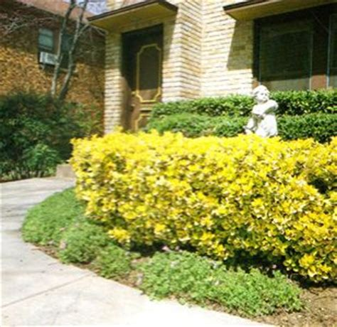 golden euonymus front  house landscaping pinterest