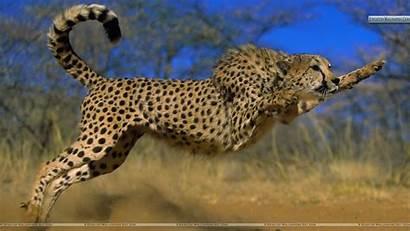 Cheetah Wallpapers Animals Wild Bsnscb Px Earth
