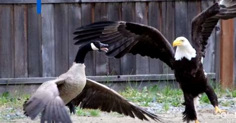 Here's What Happens When A Bald Eagle And A Canada Goose