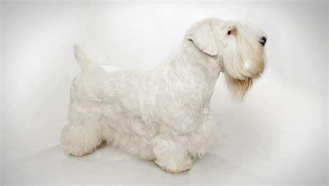 sealyham terrier dog breed selector animal planet