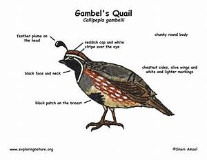 Snow Quail Diagram