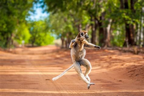 I like to move it move it! Lemur shows off dance moves to ...