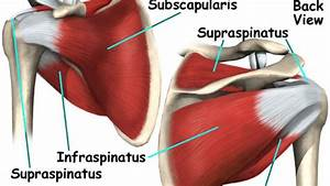 Key Shoulder Muscles And The Rotator Cuff