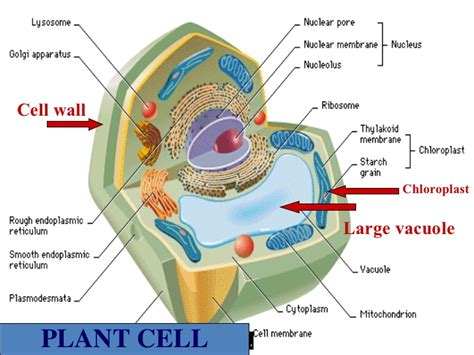 what color are chloroplasts chloroplasts in animal cells