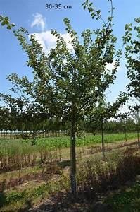 Apfelbaum Hochstamm Kaufen : apfelbaum roter boskoop gro er baum kaufen ~ Orissabook.com Haus und Dekorationen
