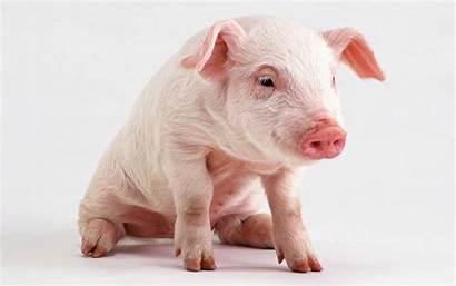 Pig Pigs Funny Wallpapers Desktop Piggy Cave