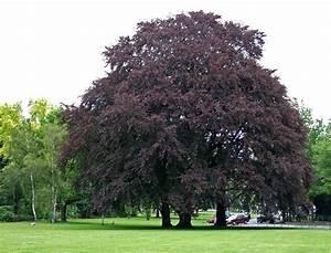 Baum Mit Roten Blättern : blutbuche wikipedia ~ Eleganceandgraceweddings.com Haus und Dekorationen