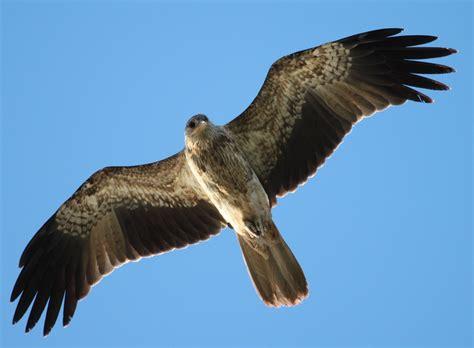 richard waring s birds of australia january 2012