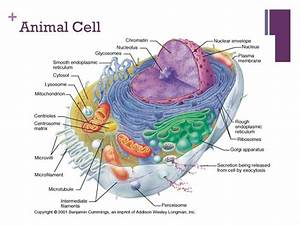 Animal Cell Diagram Chromatin Choice Image - How To Guide ...