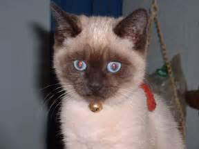 siam cat file siamese cat jpg the free encyclopedia