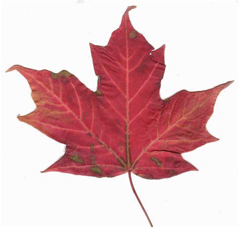 maple leaf file canadian maple leaf 2 jpg