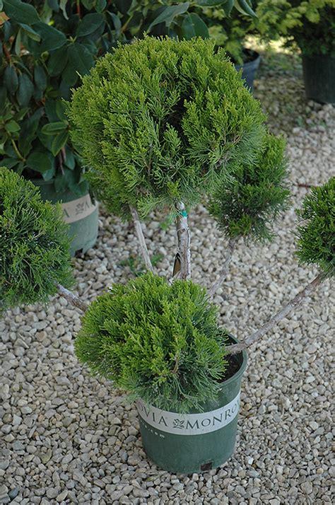 pom juniper mint julep plant juniperus chinensis