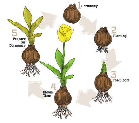 Life Cycle Of A Bulb To Show The Kiddos Come Early Spring  Gardening  Bulb Flowers, Planting