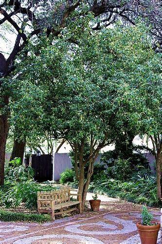 fragrant orange tea olive osmanthus fragrans aurantiacus