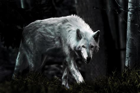 Beautiful Wolf Wallpaper Computer by Most Beautiful White Wolf Wallpaper Hd Pictures