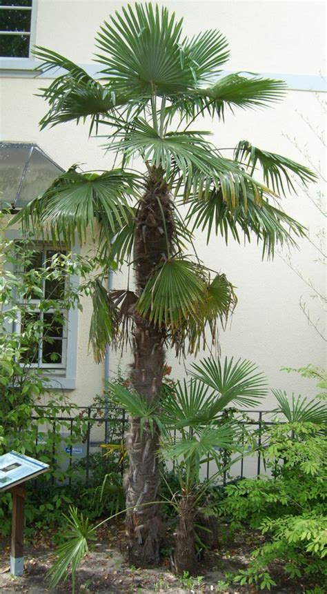 die hanfpalme im garten oder als zimmerpflanze beides