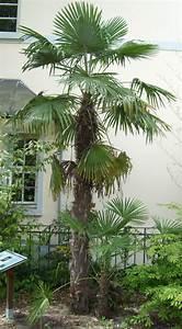 Palmenarten Für Draußen : die hanfpalme im garten oder als zimmerpflanze beides ~ Lizthompson.info Haus und Dekorationen