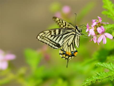 insect swallowtail butterfly scientific  papilio