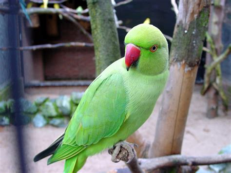 indian ringneck parakeet green indian ring necked parakeet parrot birds wallpapers